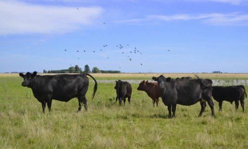 1a. Vacas y aves